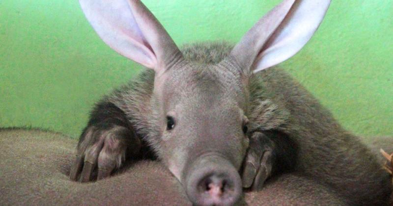 Африканский трубкозуб появится в Московском зоопарке