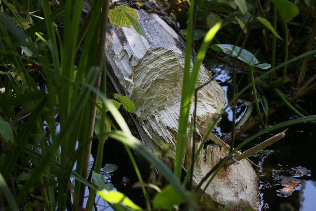 найти дерево, сваленное бобрами. Фото: Виктор Хабаров