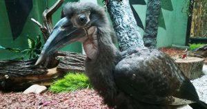 Редкий рогатый ворон родился в Московском зоопарке
