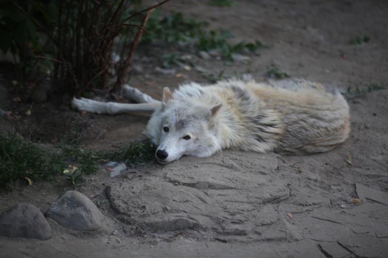 Осенняя вакцинация диких животных против бешенства завершилась в Новой Москве