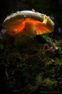 «Ска- зочный зонт» — мухомор поганко- видный. Фото: Алексей Захаринский