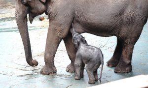 «Гвоздем» бэйби-бума в зоопарке стало рождение азиатского слоненка Филимона у слонихи Пипиты и слона Памира. Фото: mos.ru