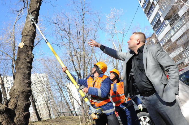 Аварийные деревья обрежут в Кокошкино. Фото: Александр Кожохин, «Вечерняя Москва»