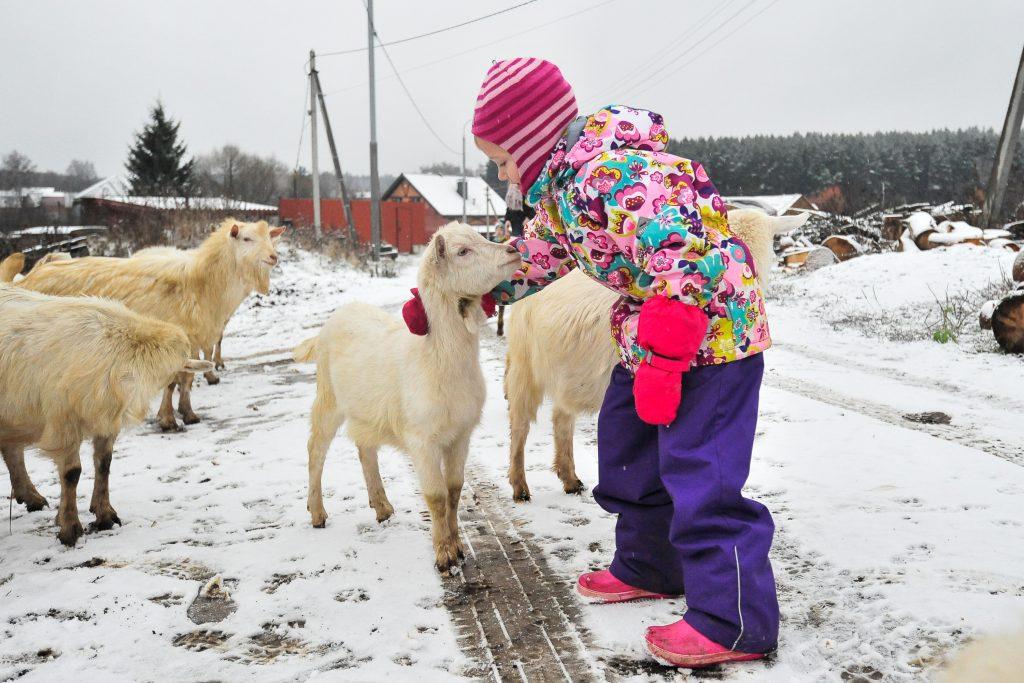 18 ноября 2017 года. Вороновское. В селе Богоявление дочка Аня помогает пасти стадо местных коз. Фото: Пелагия Замятина