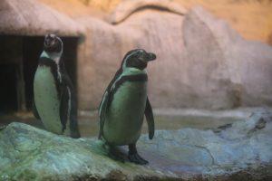 """Пингвины обживают свой вольер. Фото: """"Вечерняя Москва"""""""