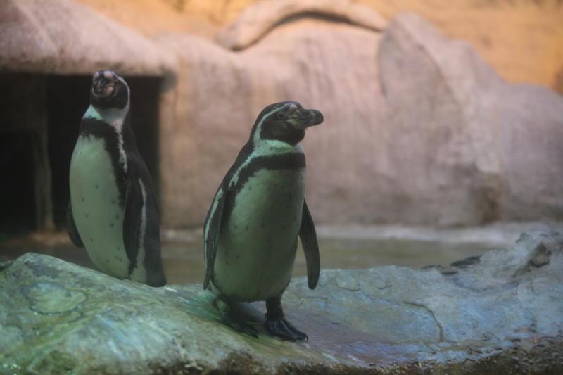 Московский зоопарк пополнился шестью папуанскими пингвинами