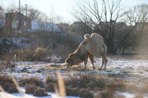 Верблюд Святогор – местная достопримечательность. Фото: Виктор Хабаров