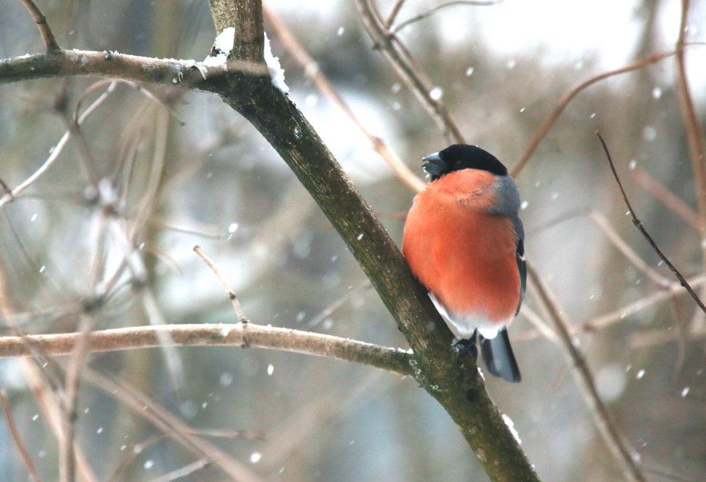 Стоп-кадр: Снегирь знает, где семечки вкусные