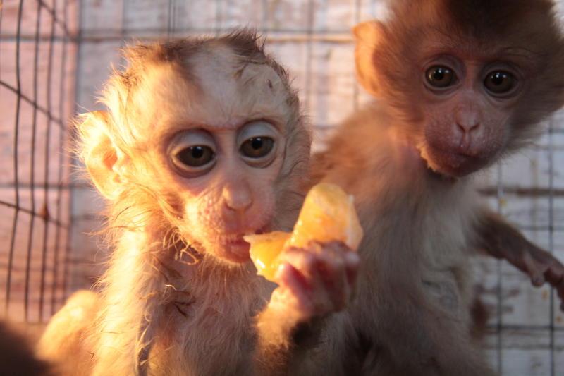 Ученые впервые клонировали обезьяну