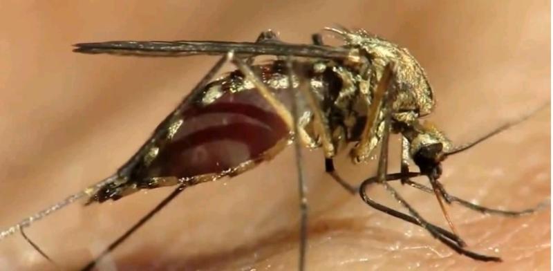 Ученые: Комары могут запоминать запахи