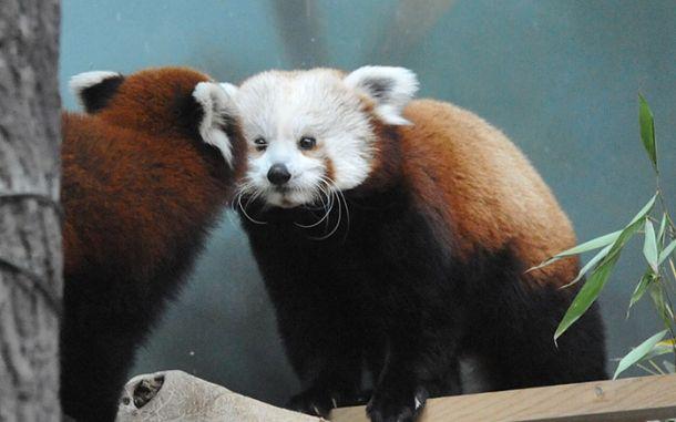 Московский зоопарк установил online-камеры в вольеры с красными пандами