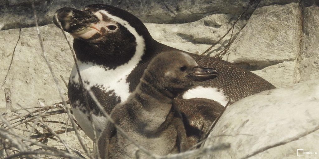 Птенцы перуанского пингвина родились в зоопарке Москвы