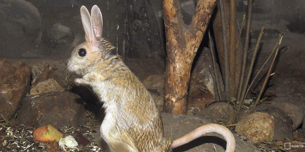 Тушканчики зоопарка в Москве проснулись от спячки