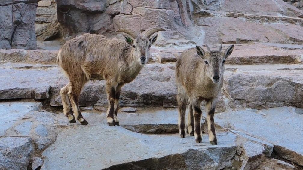 Голубые бараны поселились в Московском зоопарке
