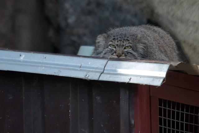 Манул из Московского зоопарка не поверил в приход весны