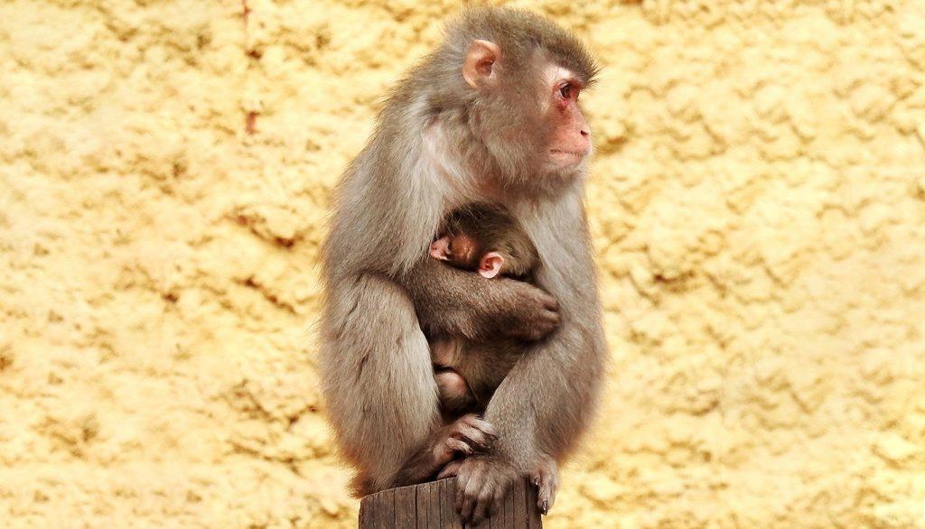 Пополнение семейства: в Московском зоопарке стало девять японских макак