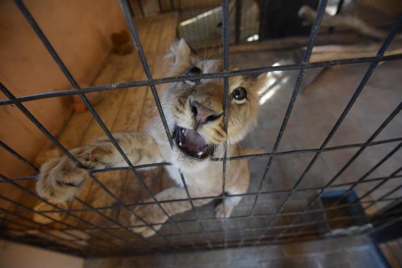 Льва Лемика из Бирюлева передадут Абаканскому зоопарку