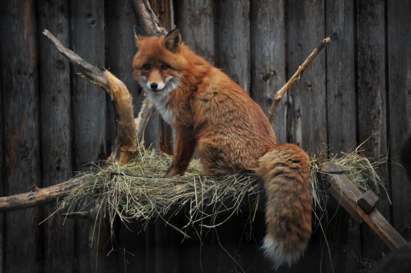 Москвичи стали чаще встречать лисиц в жилых районах