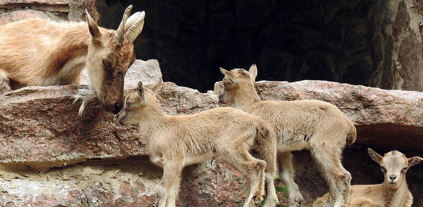 В Московском зоопарке родились детеныши семействах копытных