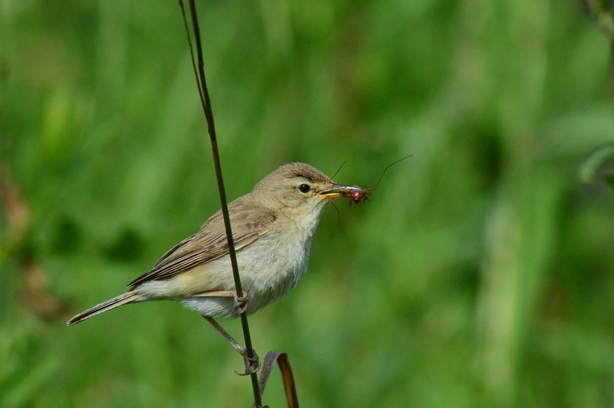 Барсучок - птица певчая
