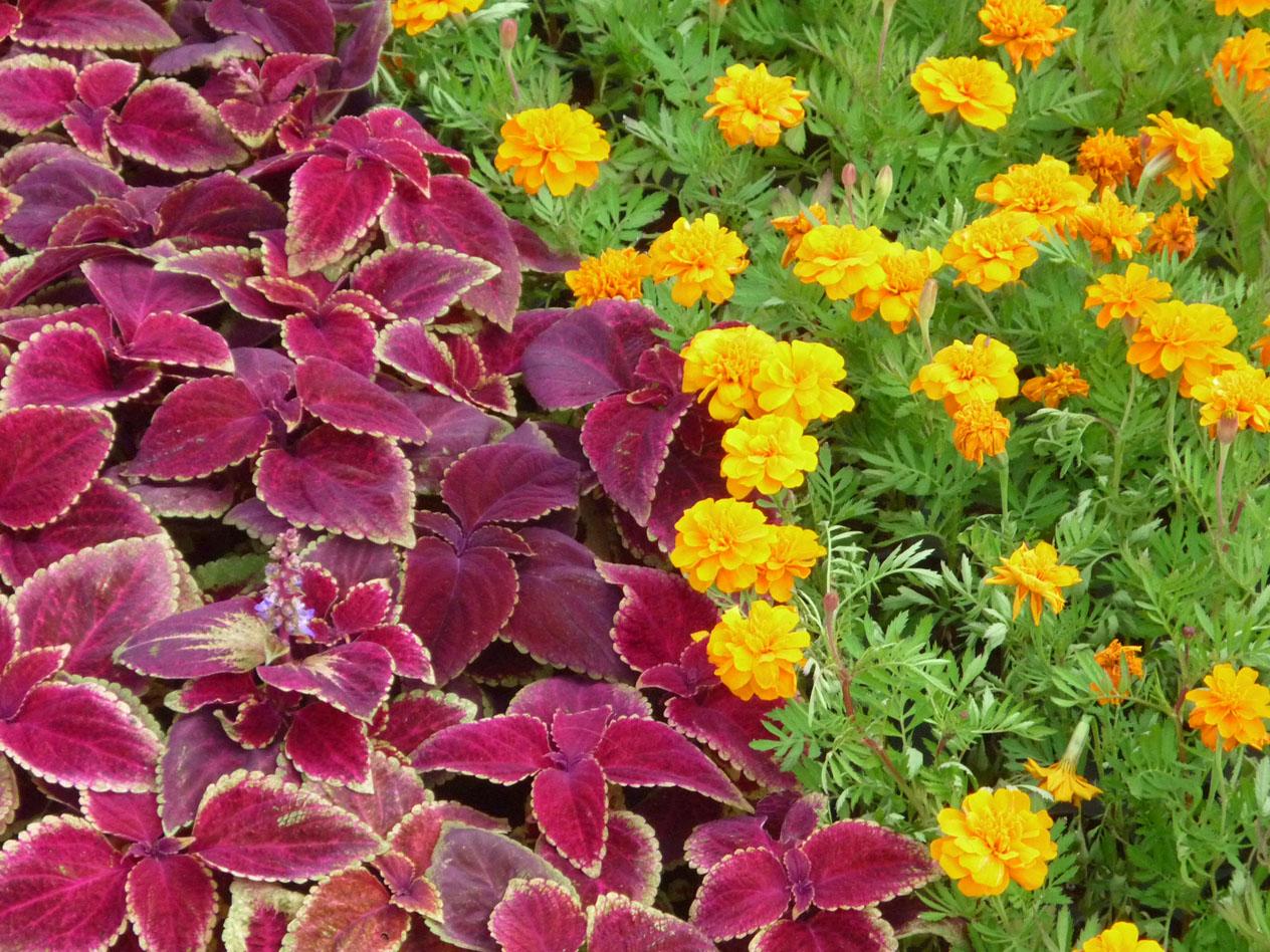 Московские цветники получили более двух миллионов растений колеуса Блюме