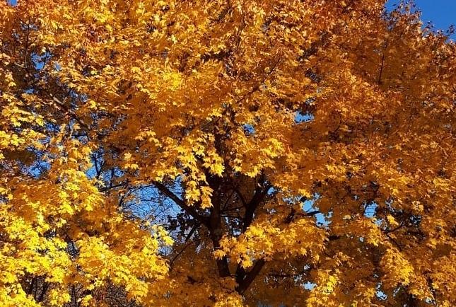 Дерево в осеннем огне: в фотоконкурс вступил очередной участник. Фото: пользователь @oksana_dil