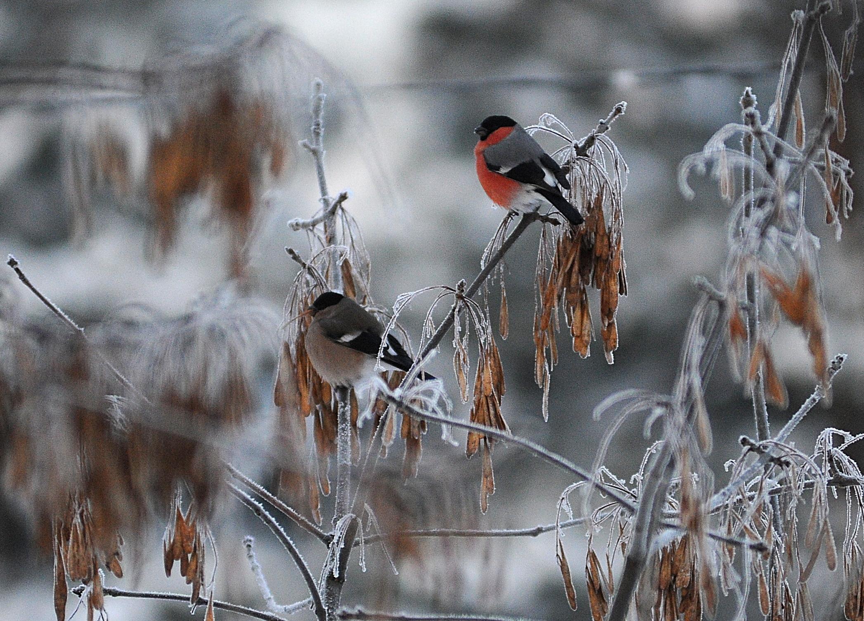 Первые снегири прилетели на зимовку в Москву