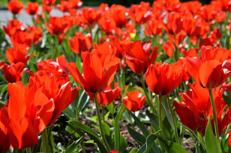 Около 80 кубических метров грунта используют для высадки тюльпанов в Мосрентгене