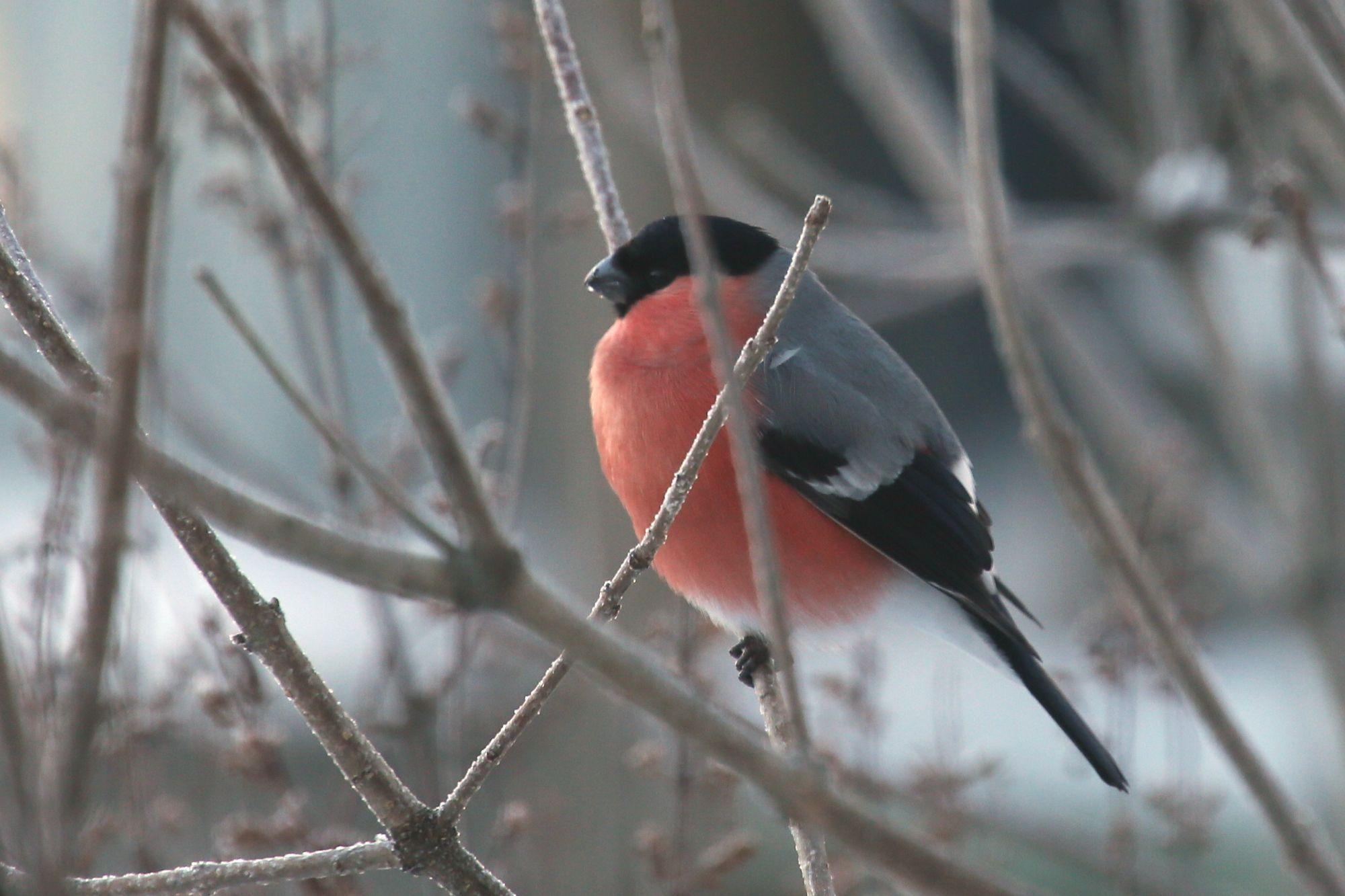 Стоп-кадр: Красногрудый предвестник зимы