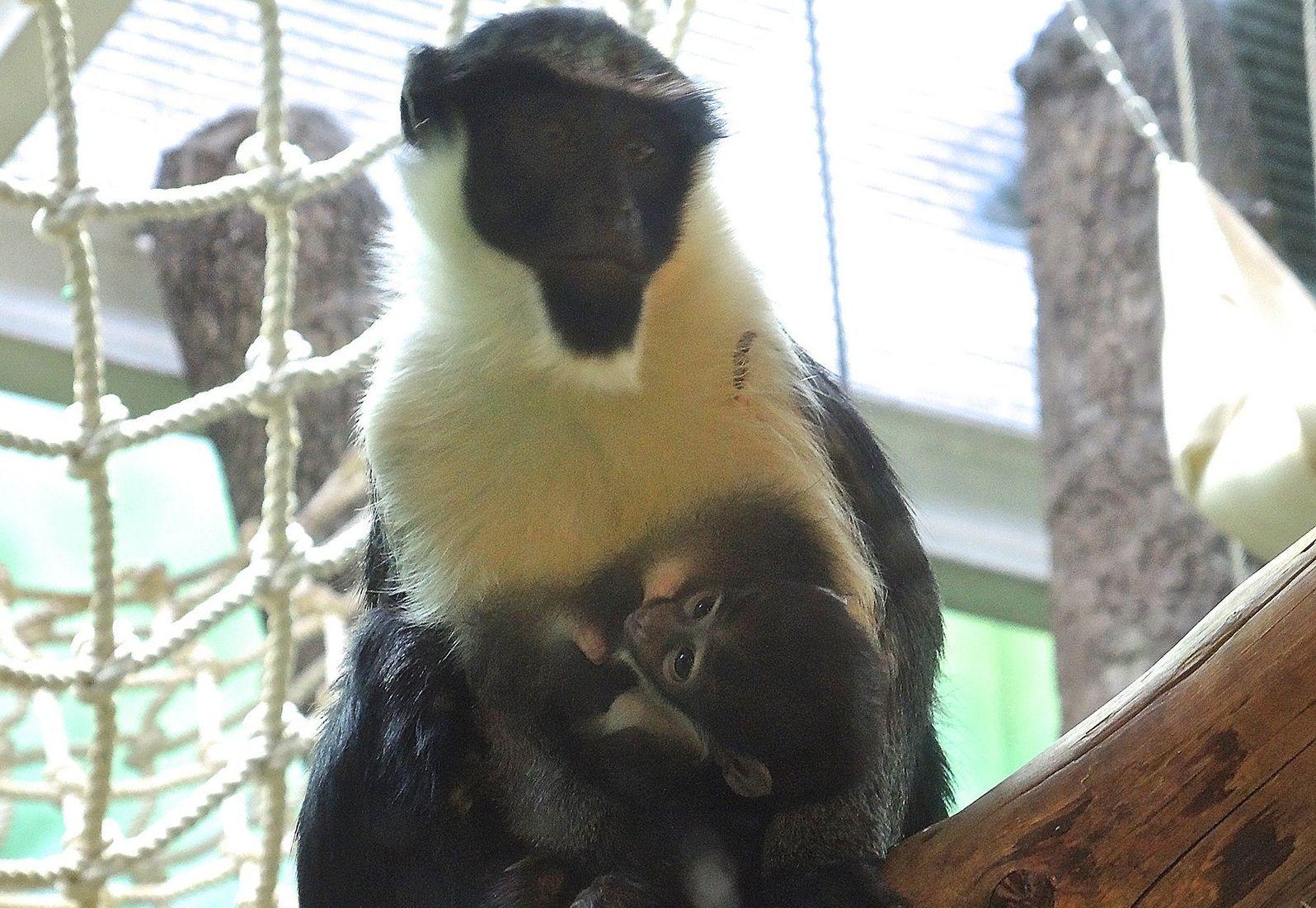 Увидеть малыша можно в павильоне «Дом обезьян». Фото: mos.ru