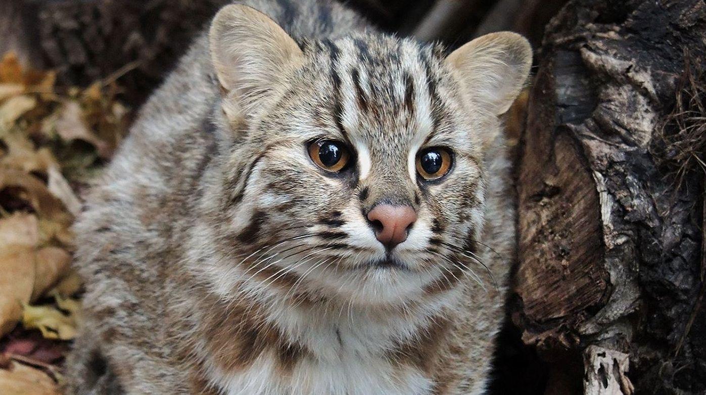 Дальневосточные лесные коты по натуре достаточно скрытны и осторожны. Фото: mos.ru