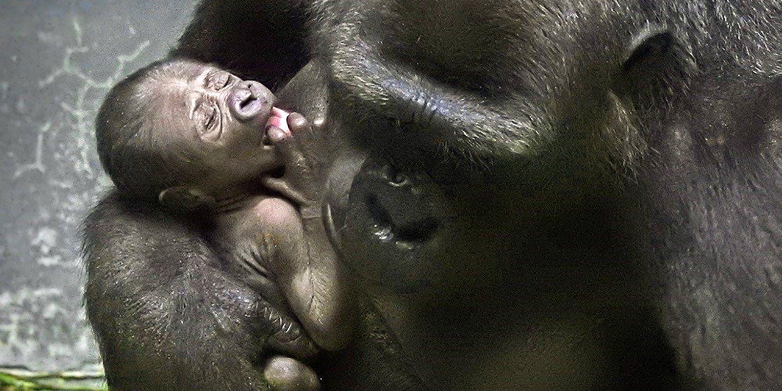 Гости Московского зоопарка увидят новорожденную равнинную гориллу
