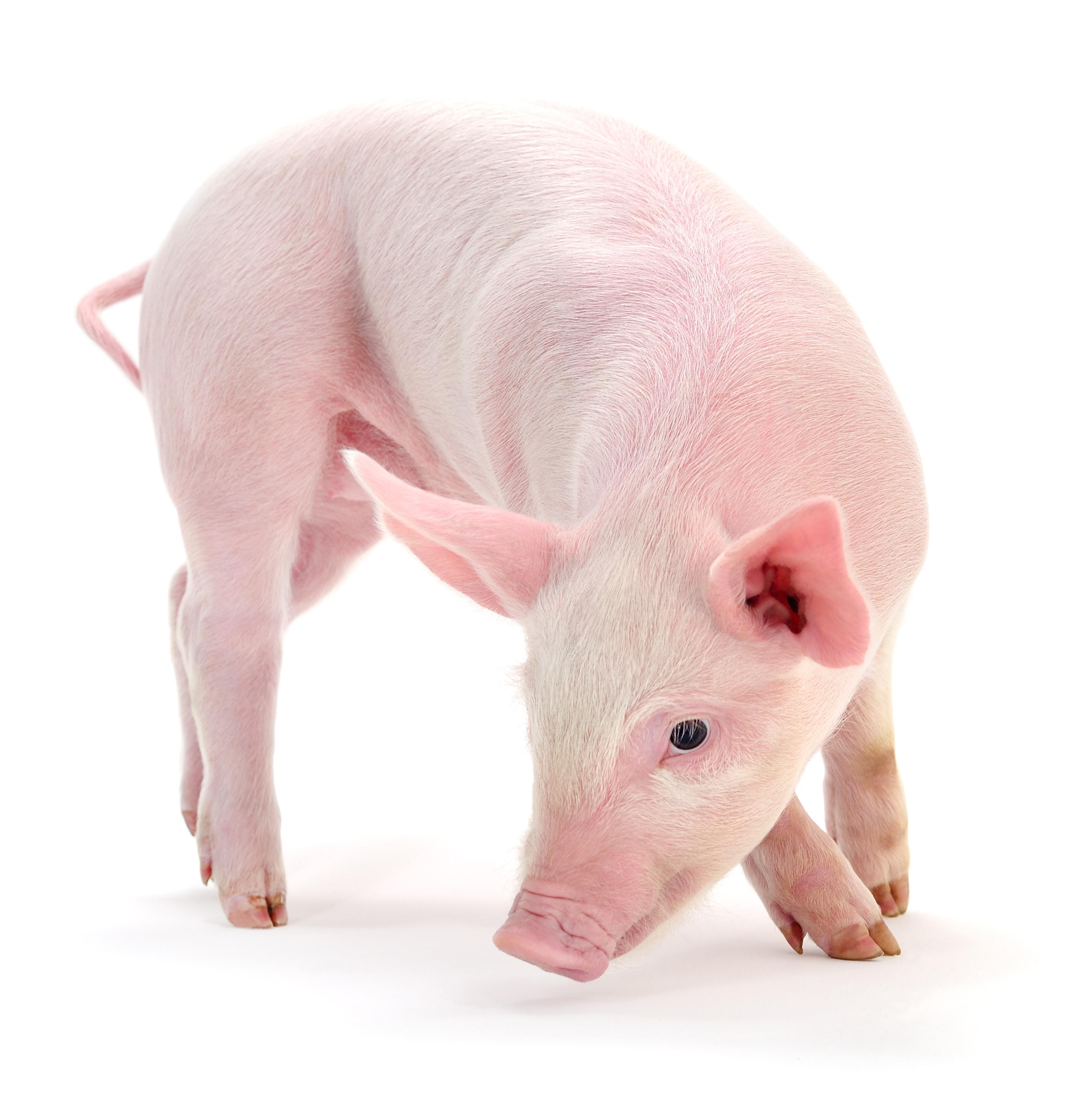 Свинья — это доброта, нежность и забота