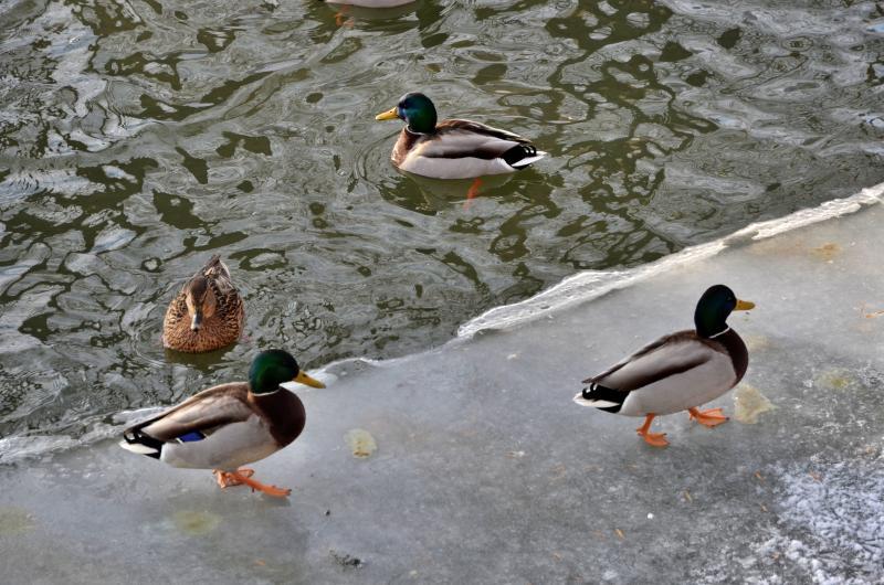 Оставшихся в Москве на зимовку водоплавающих птиц подсчитают