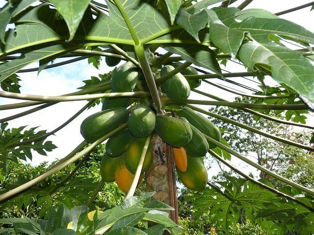 В «Аптекарском огороде» созрел урожай папайи