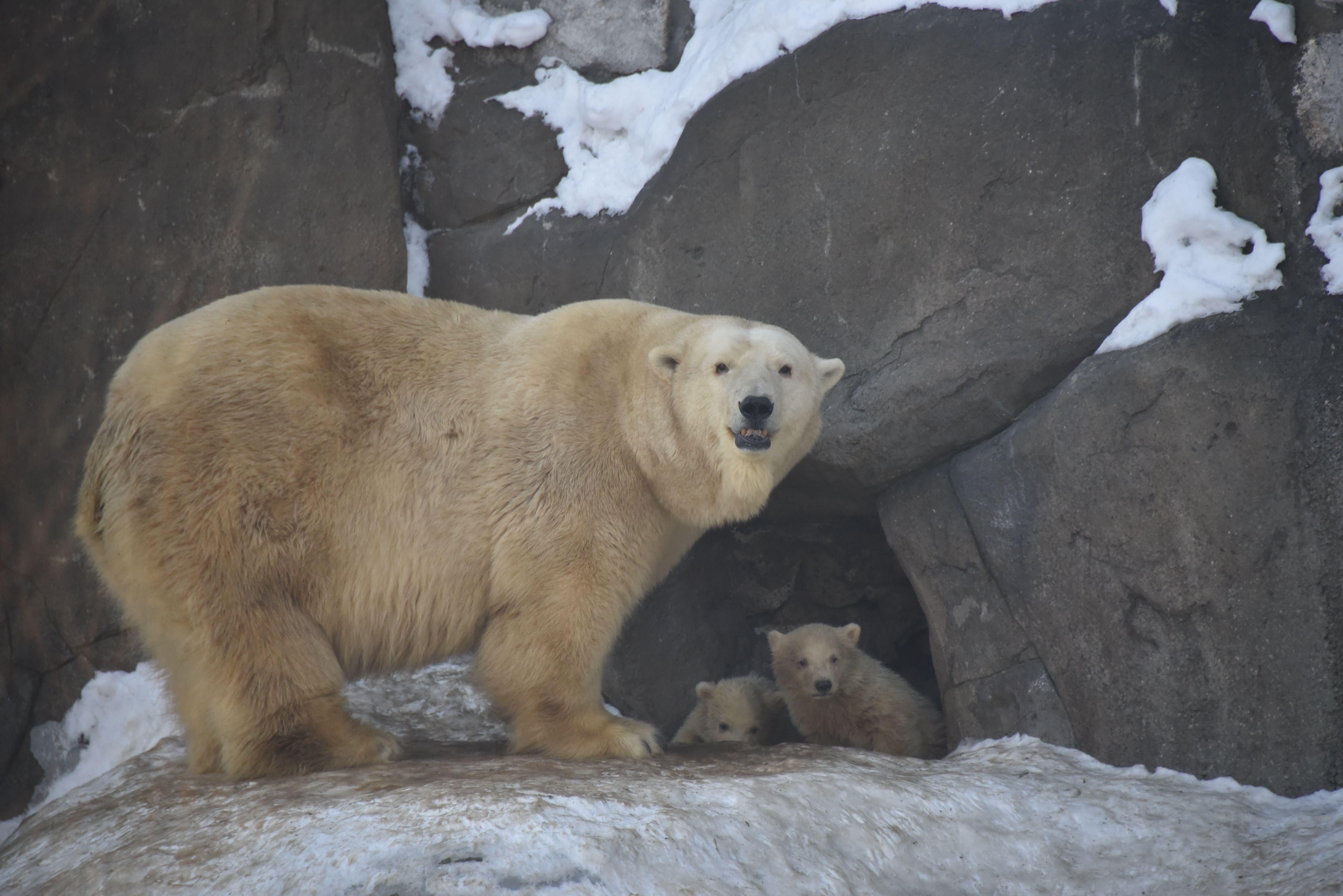 Московский зоопарк пообещал бесплатный вход в День полярного медведя