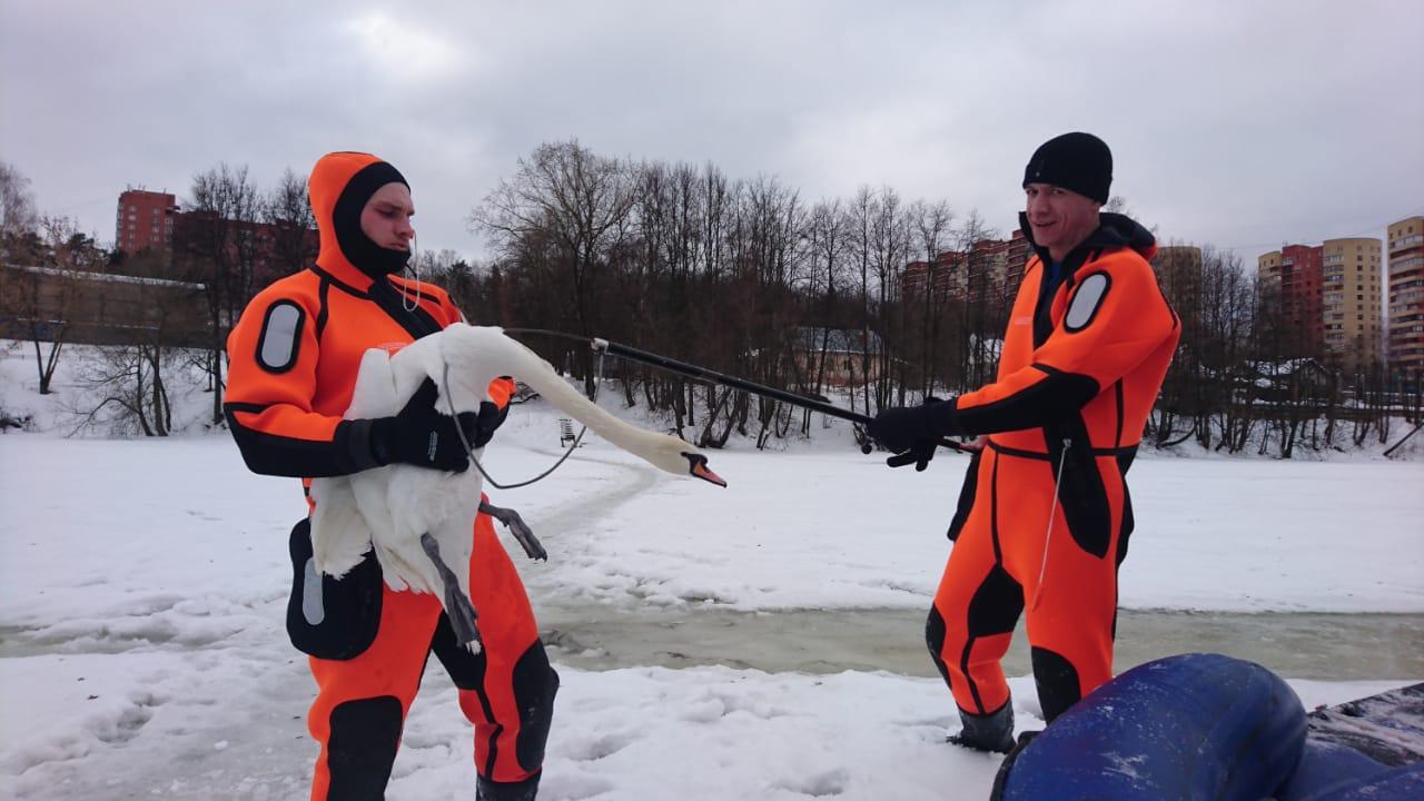 Лебедей вернули в Новую Москву