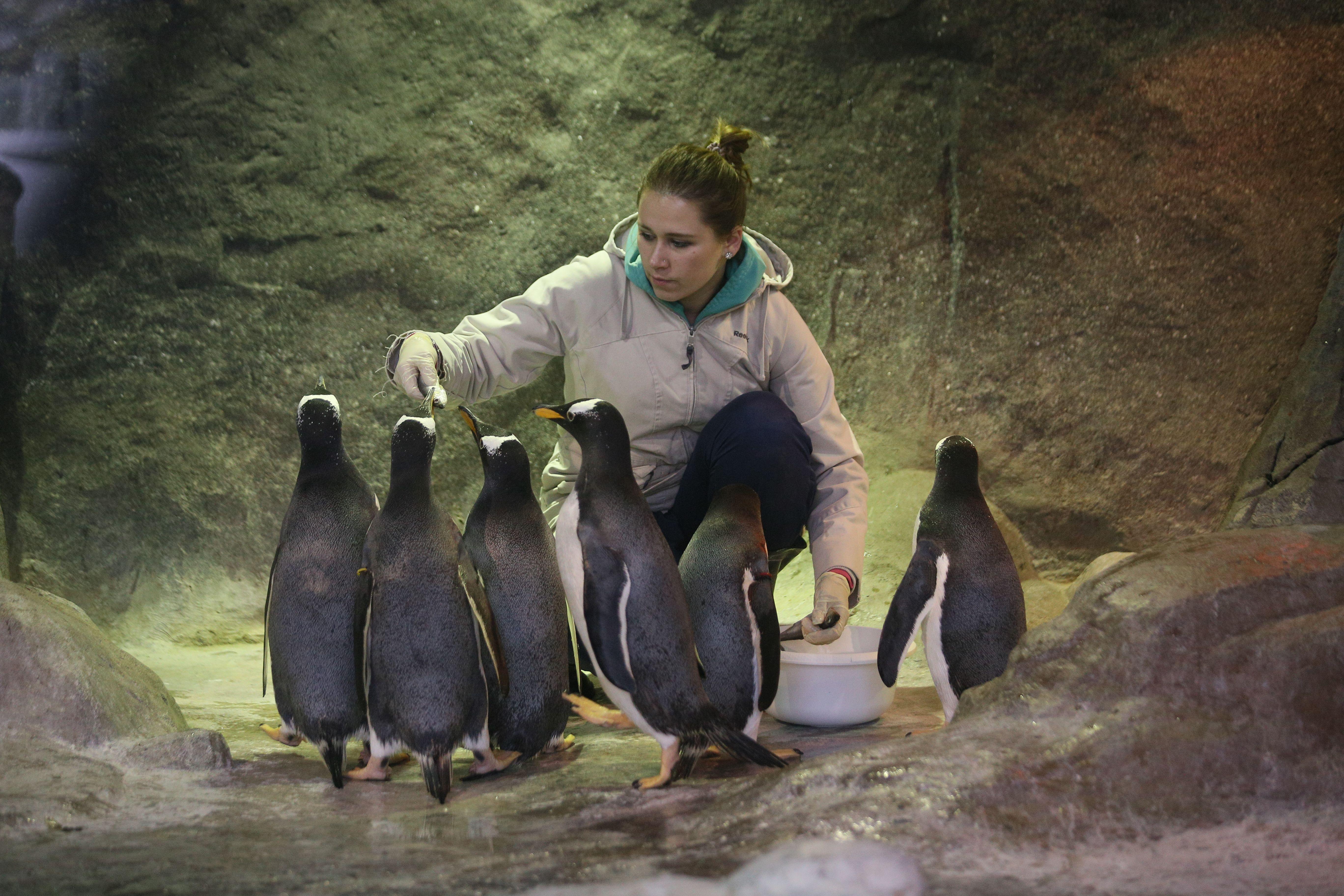 В столице находится внушительная колония этих антарктических птиц. Фото: Антон Гердо