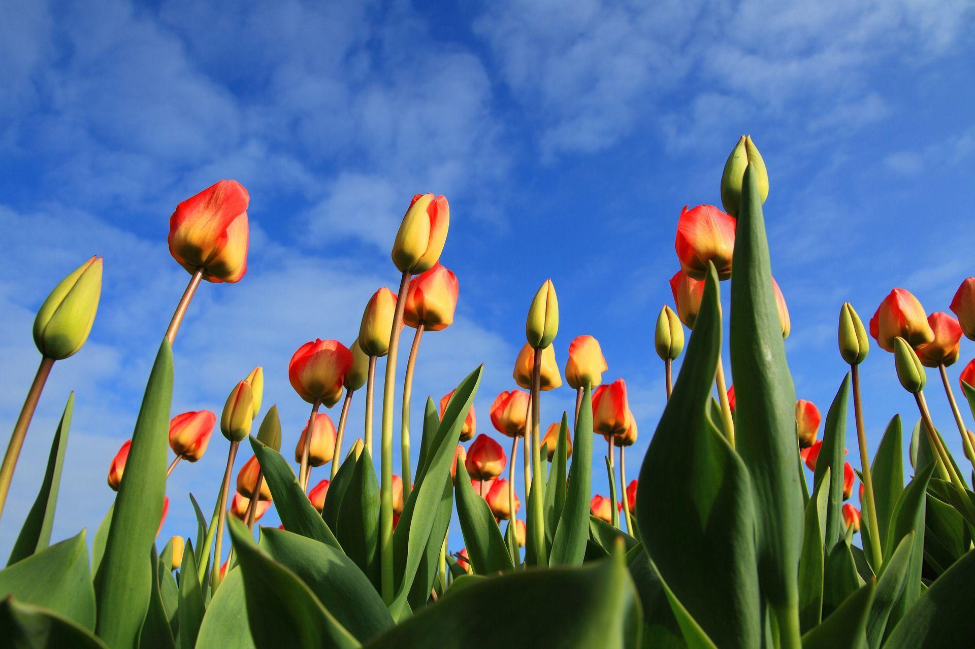 Москвичам пообещали бесплатные тюльпаны ко Дню всех влюбленных