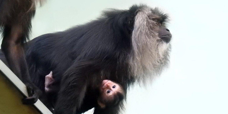 В зоопарке Москвы родился детеныш редкой макаки