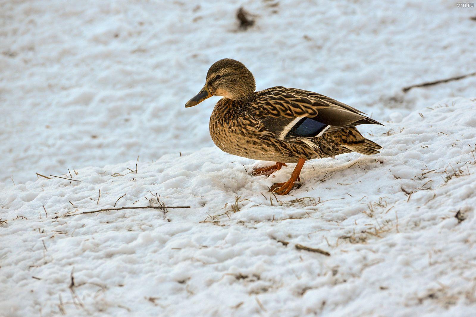 Водоплавающие птицы перезимовали в столице