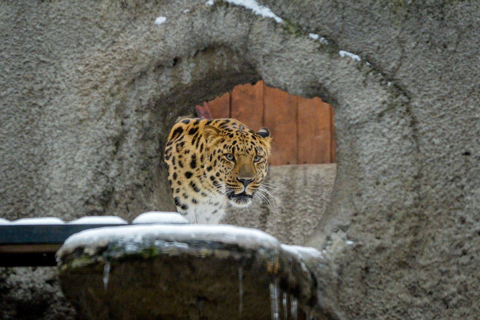 Понаблюдать за леопардом лучше всего после заката солнца. Фото: Александр Казаков