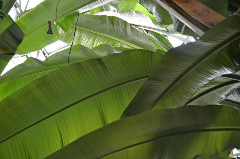 В «Аптекарском огороде» зацвело шоколадное дерево