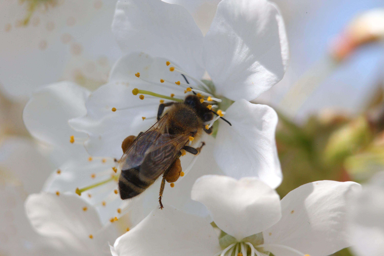 Стоп-кадр: когда яблони цветут, пчелам не до отдыха