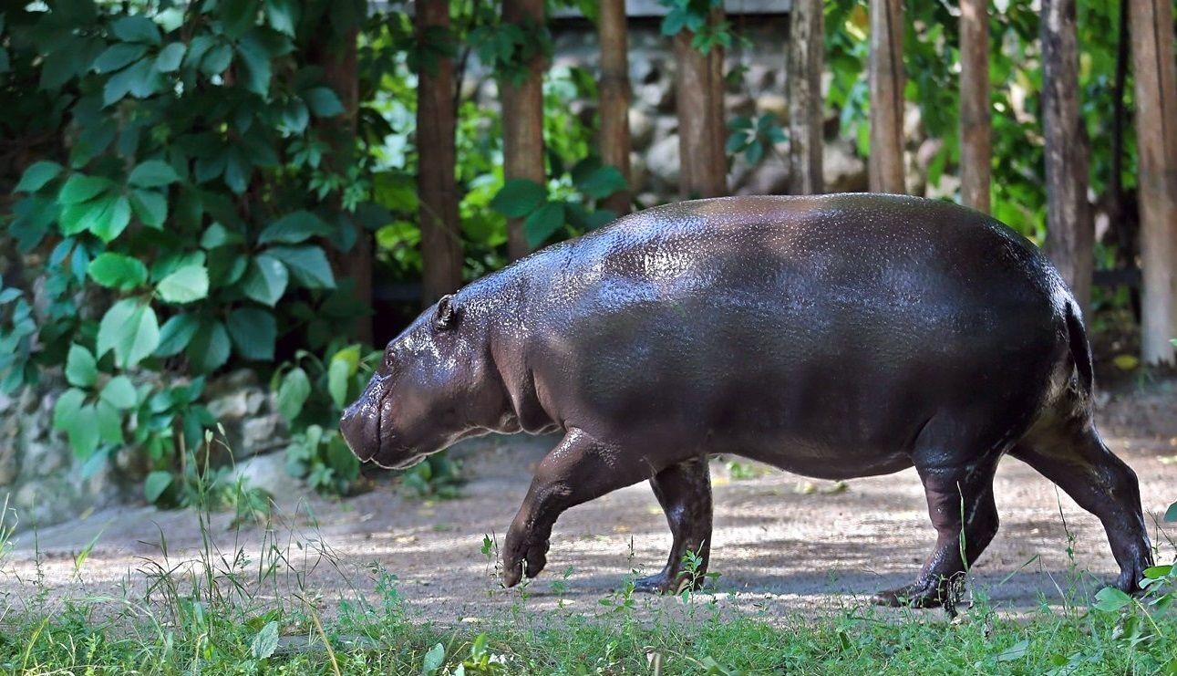 Бегемотиха Ксюша покинет зимний вольер Московского зоопарка