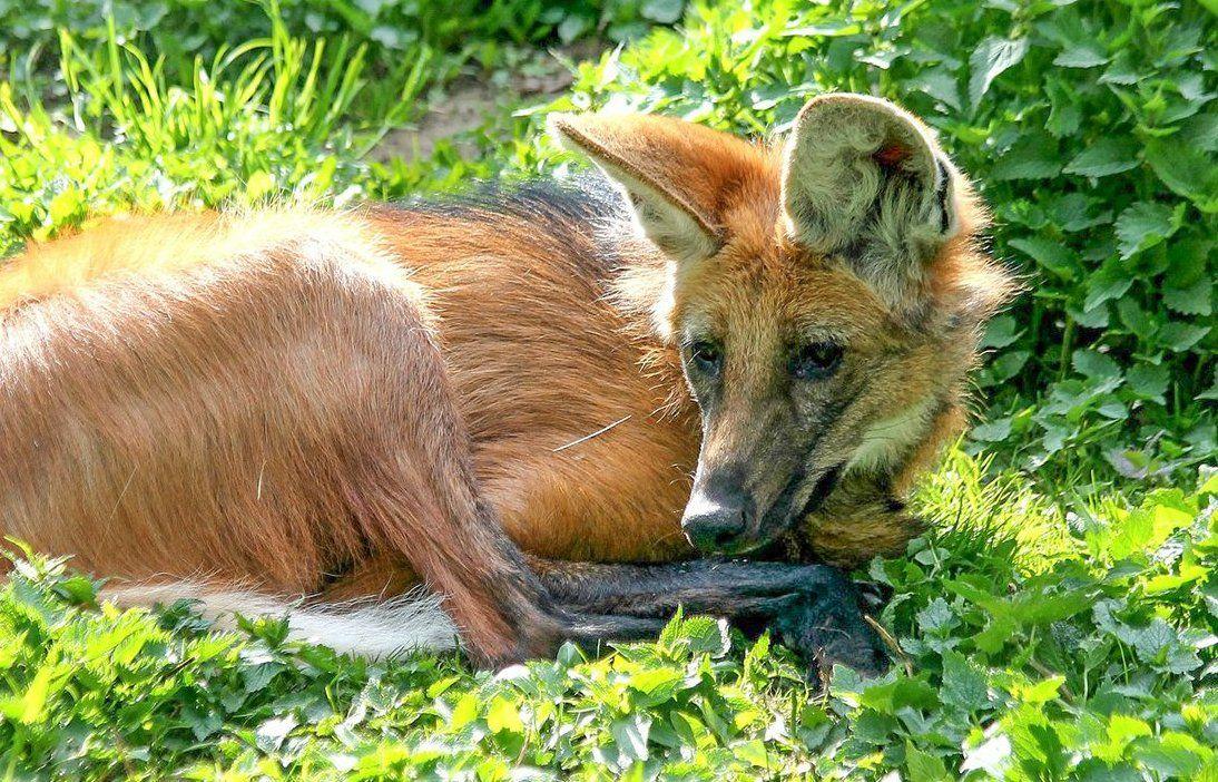 Московский зоопарк показал гривистого волка Фалькао