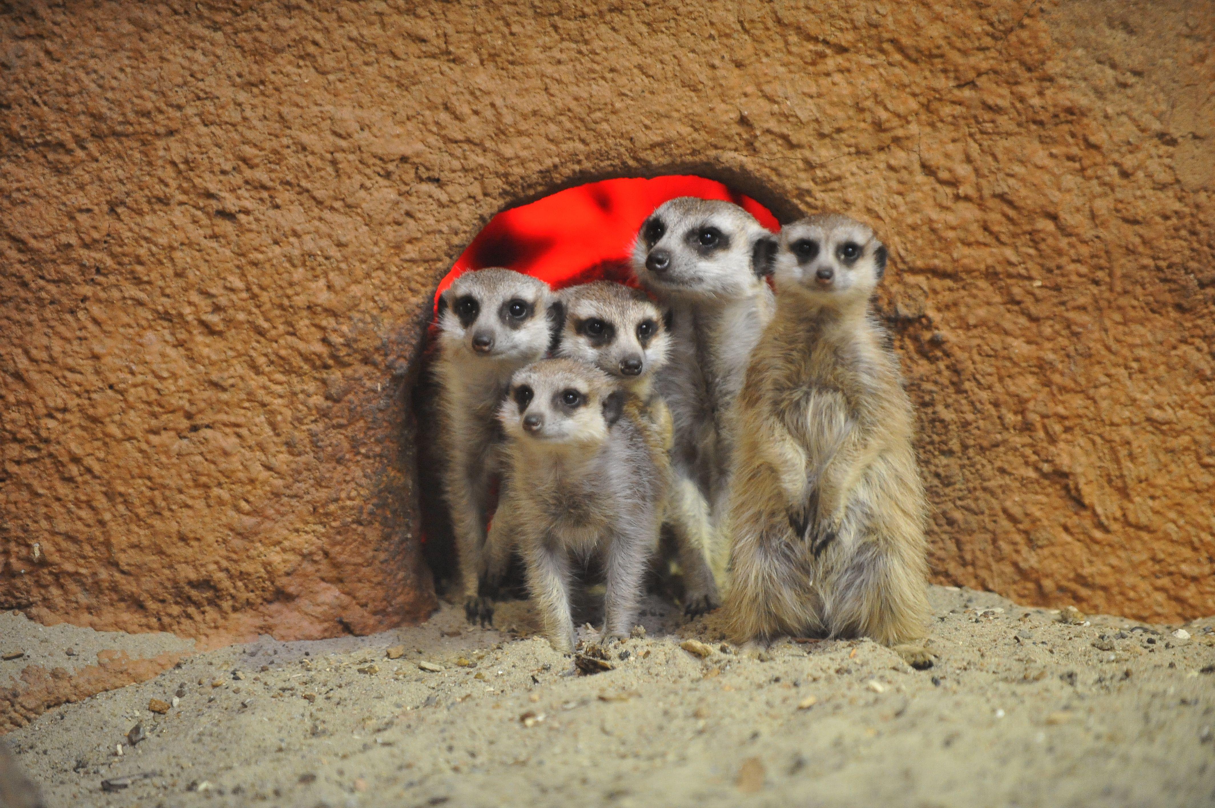 Московский зоопарк вернул сурикатов и капибар в наружные вольеры
