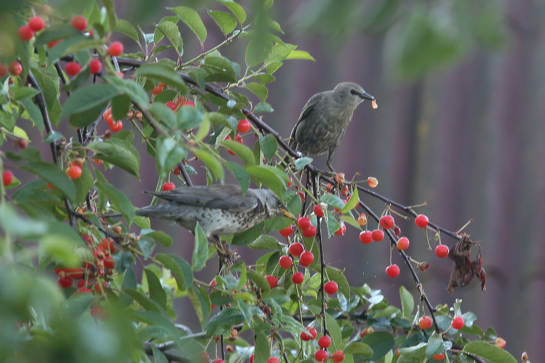 Стоп-кадр: Жадные дрозды прилетели