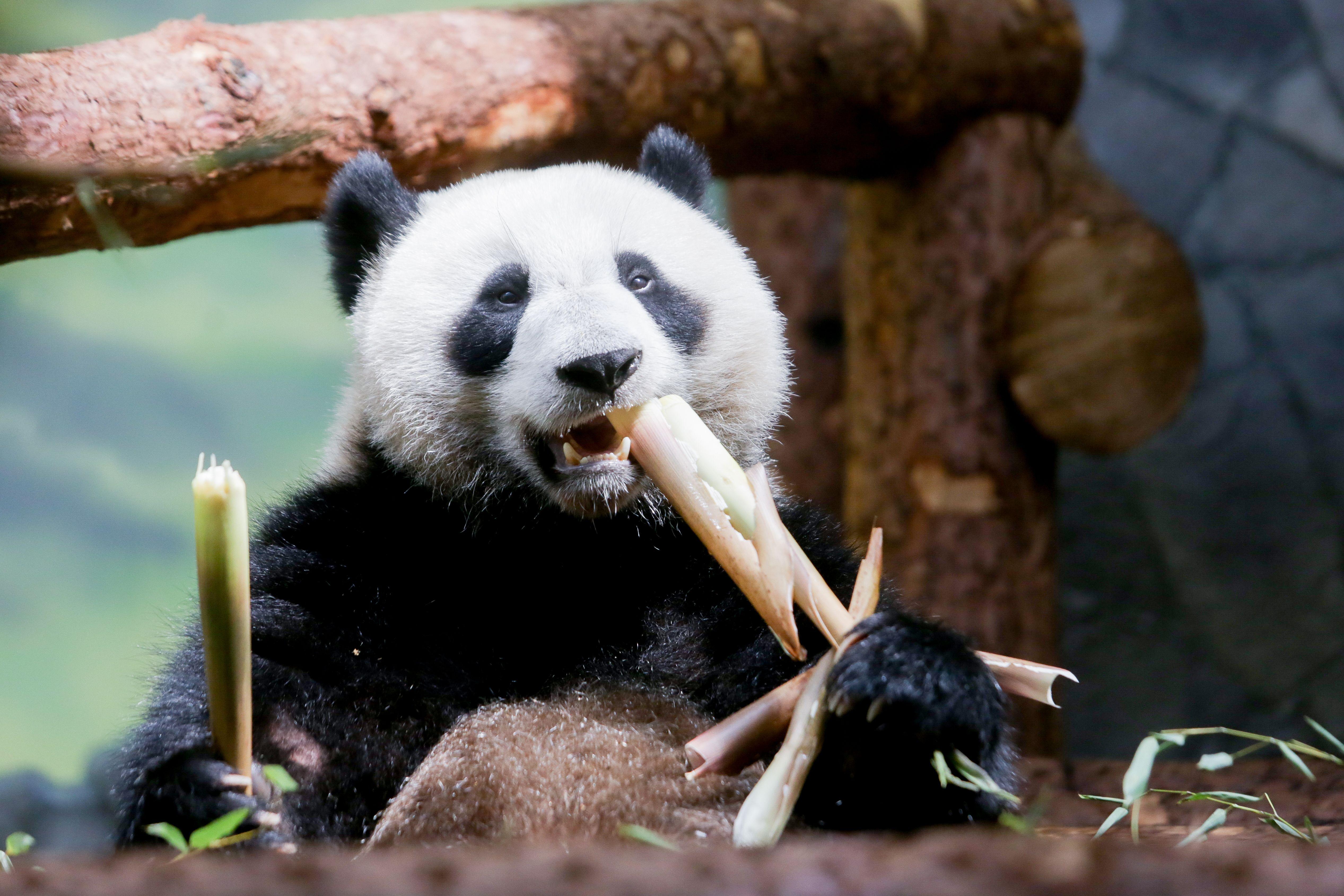 Зоопарк Москвы запустит видеотрансляцию из вольеров панд