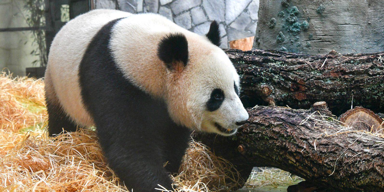 Китайские панды адаптировались к условиям жизни в Московском зоопарке